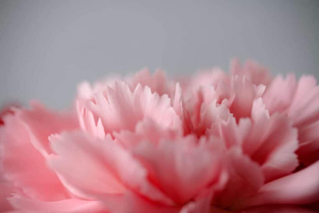 Pink Carnation on a gray background